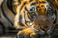 Τίγρη τιγρών Στοκ εικόνες με δικαίωμα ελεύθερης χρήσης