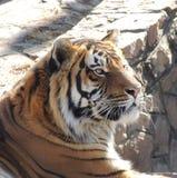 Τίγρη τιγρών Στοκ φωτογραφίες με δικαίωμα ελεύθερης χρήσης