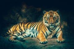 Τίγρη του Μπανγκόρ Στοκ φωτογραφία με δικαίωμα ελεύθερης χρήσης