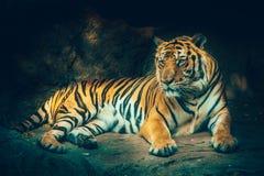 Τίγρη του Μπανγκόρ Στοκ Εικόνα