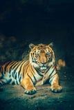 Τίγρη του Μπανγκόρ Στοκ Φωτογραφία