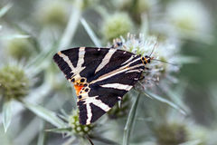Τίγρη του Τζέρσεϋ Quadripunctaria Euplagia  στο eryngo τομέων στοκ εικόνα