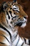 τίγρη χαμόγελου πορτρέτου στοκ φωτογραφίες