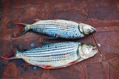 τίγρη ψαριών Στοκ εικόνες με δικαίωμα ελεύθερης χρήσης