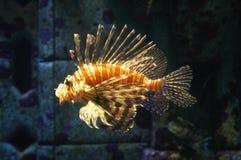 τίγρη ψαριών Στοκ Εικόνες