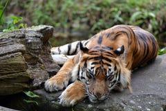 Τίγρη ύπνου Στοκ φωτογραφίες με δικαίωμα ελεύθερης χρήσης