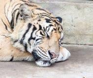 Τίγρη ύπνου Στοκ εικόνα με δικαίωμα ελεύθερης χρήσης