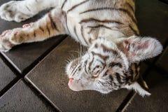 Τίγρη ύπνου Στοκ φωτογραφία με δικαίωμα ελεύθερης χρήσης