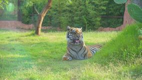 Τίγρη απόθεμα βίντεο