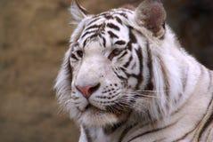 τίγρη Στοκ Εικόνα