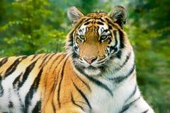 Τίγρη. Στοκ φωτογραφία με δικαίωμα ελεύθερης χρήσης