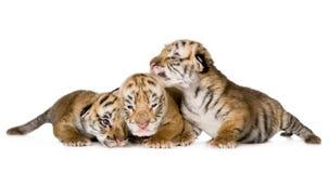 τίγρη 4 cub ημερών Στοκ εικόνες με δικαίωμα ελεύθερης χρήσης