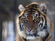τίγρη Στοκ Φωτογραφίες