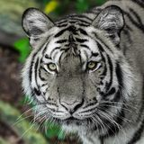 Τίγρη, Στοκ Φωτογραφίες