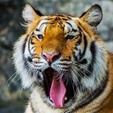 Τίγρη, Στοκ Εικόνες
