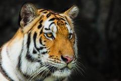 Τίγρη, Στοκ Εικόνα