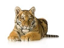 τίγρη 5 cub μηνών Στοκ Εικόνες