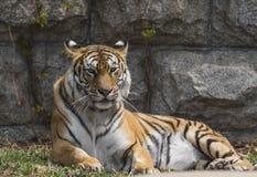 Τίγρη Στοκ εικόνα με δικαίωμα ελεύθερης χρήσης