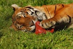τίγρη 6473 Στοκ Φωτογραφίες