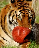 τίγρη 6479 Στοκ Φωτογραφίες