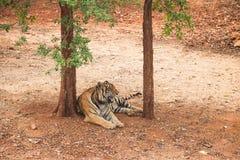 Τίγρη Στοκ εικόνες με δικαίωμα ελεύθερης χρήσης