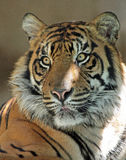 Τίγρη Στοκ φωτογραφίες με δικαίωμα ελεύθερης χρήσης