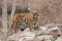 Τίγρη 6 Στοκ φωτογραφίες με δικαίωμα ελεύθερης χρήσης