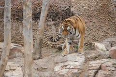 Τίγρη 4 Στοκ Εικόνες