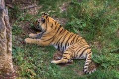 Τίγρη Amur σε ένα δάσος του Καναδά Στοκ εικόνα με δικαίωμα ελεύθερης χρήσης