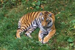Τίγρη Amur σε ένα δάσος του Καναδά Στοκ Εικόνα