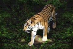 Τίγρη Amur Στοκ φωτογραφίες με δικαίωμα ελεύθερης χρήσης