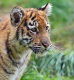 Τίγρη Amur Στοκ Εικόνα