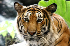 Τίγρη Panthera Τίγρης Στοκ Φωτογραφία