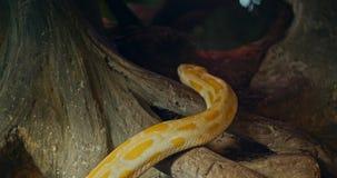 Τίγρη python στο ζωολογικό κήπο o απόθεμα βίντεο