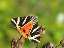 τίγρη quadripunctaria του Τζέρσεϋ euplagia Στοκ Φωτογραφία