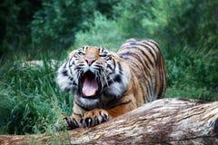 Τίγρη Sumatra, βρυχηθμοί τιγρών στοκ εικόνες