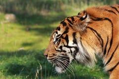 Τίγρη Sumatra επάνω στενή Στοκ Φωτογραφίες