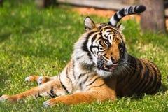 Τίγρη Sumatran στην πράσινη χλόη Στοκ εικόνες με δικαίωμα ελεύθερης χρήσης