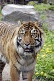 τίγρη sumatran Στοκ Εικόνες
