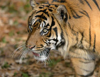 Τίγρη Sumatran Στοκ Φωτογραφίες