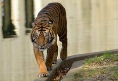 Τίγρη Sumatran Στοκ εικόνες με δικαίωμα ελεύθερης χρήσης