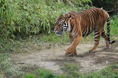 Τίγρη Sumatran Στοκ Εικόνα