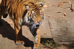 Τίγρη, Sumatran Στοκ φωτογραφία με δικαίωμα ελεύθερης χρήσης
