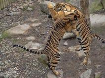 Τίγρη Sumatran, sumatrae Panthera Τίγρης, νέες πάλες πρακτικής θηλυκών στοκ εικόνες