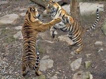 Τίγρη Sumatran, sumatrae Panthera Τίγρης, νέες πάλες πρακτικής θηλυκών στοκ εικόνα
