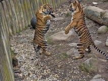 Τίγρη Sumatran, sumatrae Panthera Τίγρης, νέες πάλες πρακτικής θηλυκών στοκ εικόνα με δικαίωμα ελεύθερης χρήσης