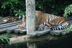 Τίγρη Sumatran - sumatrae Panthera Τίγρης στοκ φωτογραφία με δικαίωμα ελεύθερης χρήσης