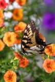 Τίγρη Swallowtail Πάσχας στοκ φωτογραφίες