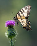 Τίγρη Swallowtail στον πορφυρό κάρδο Στοκ Φωτογραφία