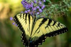 Τίγρη Swallowtail Στοκ εικόνα με δικαίωμα ελεύθερης χρήσης